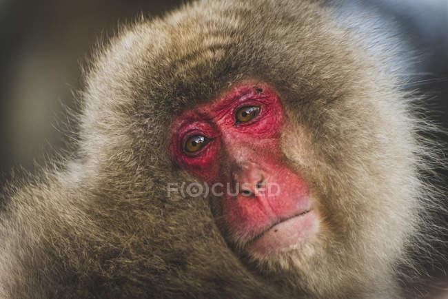 Close-up of macaca fuscata looking sideways, Japan, Yudanaka — Stock Photo