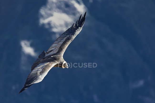 Pérou, Andes, Chivay, Colca Canyon, condor andin qui — Photo de stock