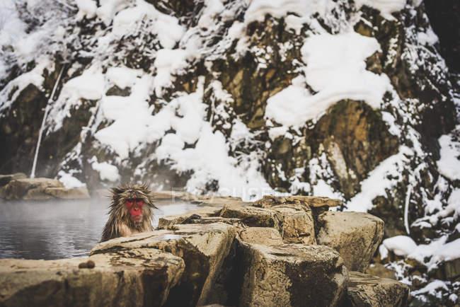 Японія, Yamanouchi, Jigokudani мавпа парк, купання червонолиций makak — стокове фото