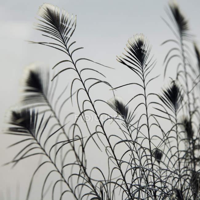 Крупным планом перья павлинов на сером фоне — стоковое фото