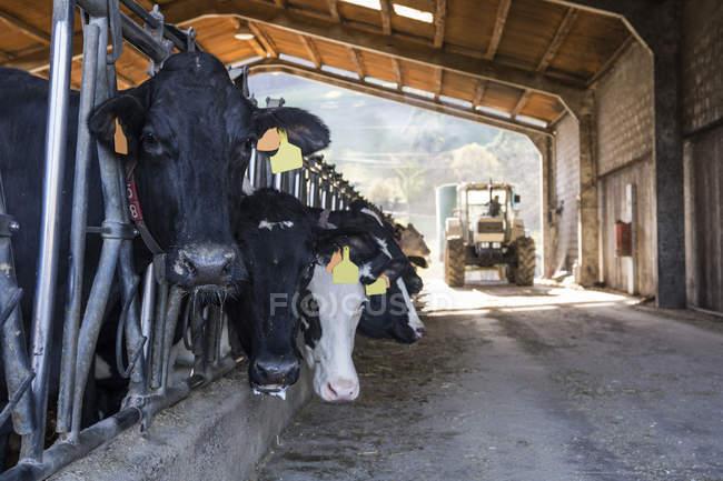 Перегляд корів та транспортного засобу трактор на фермі — стокове фото