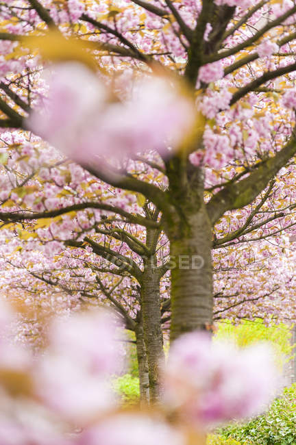 Árvores de cereja em flor, quadro completo — Fotografia de Stock