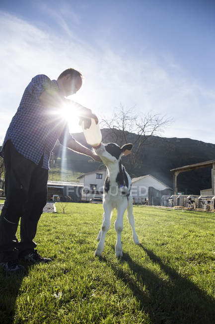Чоловічий фермер годування теля на пасовищі — стокове фото