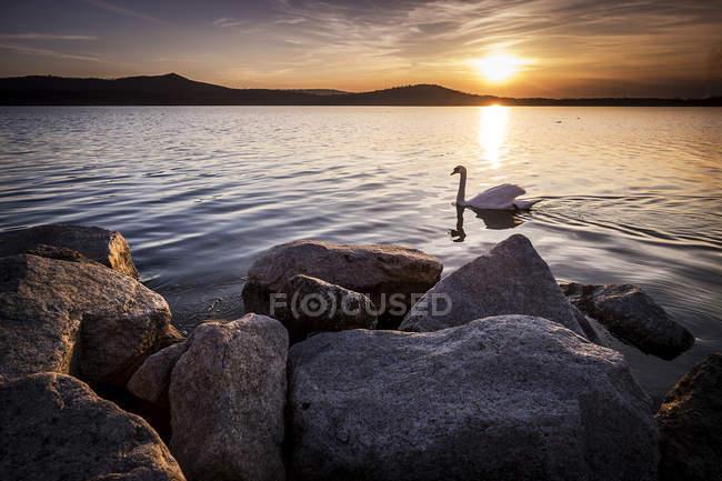 Вид на закат и лебедь на поверхности воды — стоковое фото