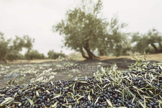 Olives for produce olive oil with tree in background. Jaen, Spain — Stock Photo