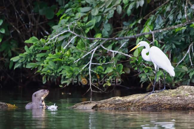 Perù, Parco nazionale di Manu, Cocha Salvador, lontra gigante guardando uccello a lakeshore — Foto stock