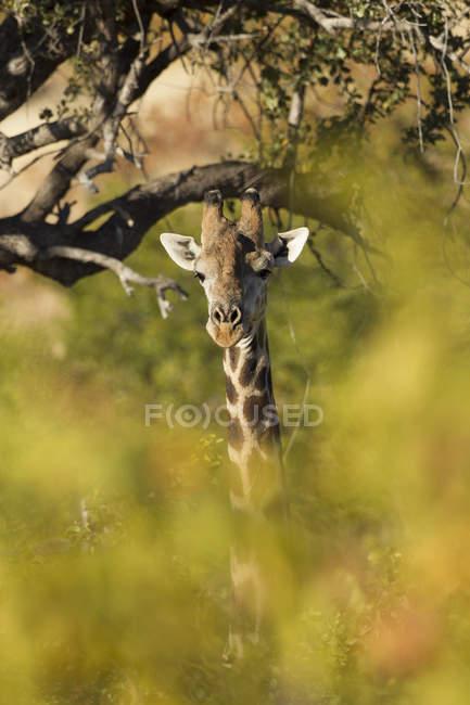 Жирафа (giraffa), Африка, Ботсвана, Tuli блок — стокове фото
