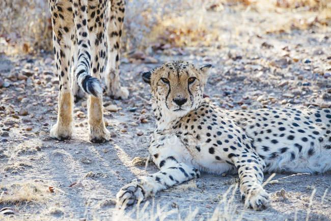 Retrato de Namibia, Kamanjab, de guepardos en la sabana - foto de stock