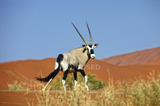 Gemsbok Dans le désert, Afrique — Photo de stock