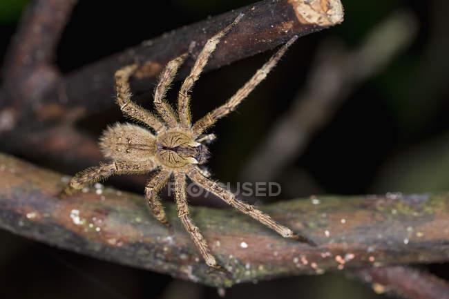 Ctenidae aranha closeup vista no galho de árvore — Fotografia de Stock