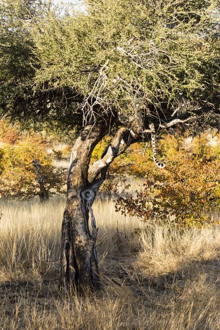 Леопард (Panthera заводу) хвіст висить від дерева, Африки, Ботсвани — стокове фото