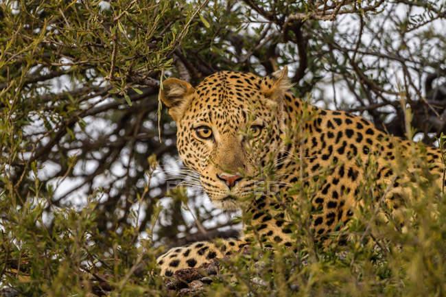 Крупным планом леопарда (Panthera pardus) в дерево, Африка, Ботсвана — стоковое фото
