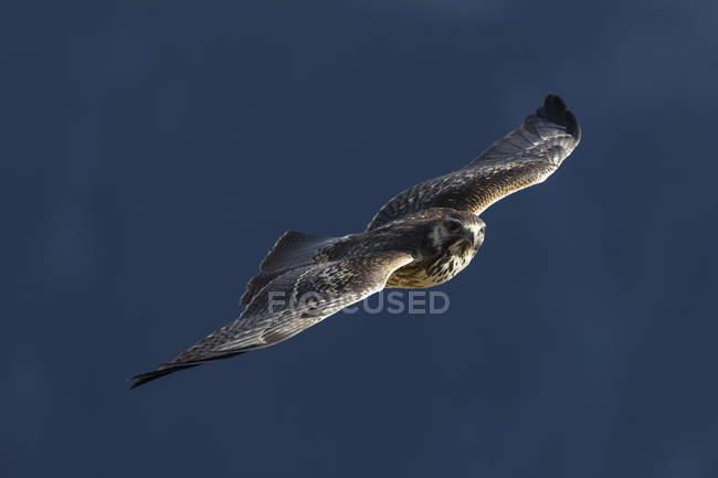Faucon pèlerin (Falco peregrinus) oiseau de vol — Photo de stock