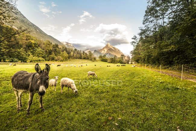 Animali al pascolo su erba verde durante il giorno — Foto stock