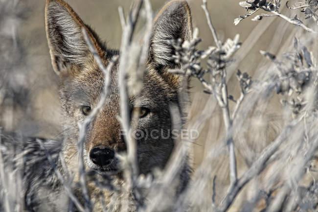 Шакал, Національний парк Етоша, Намібія — стокове фото