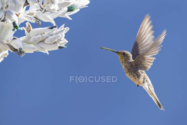 Colibri géant contre les fleurs pendant la journée — Photo de stock