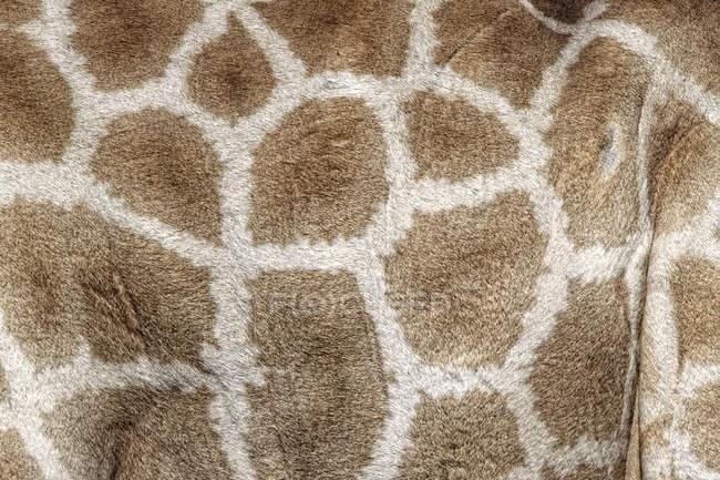 Girafa (Giraffa camelopardalis), close-up de pelo malhado — Fotografia de Stock