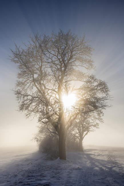 Alemanha, Baden-Wuerttemberg, distrito de Constance, sol brilhando através da árvore no inverno — Fotografia de Stock