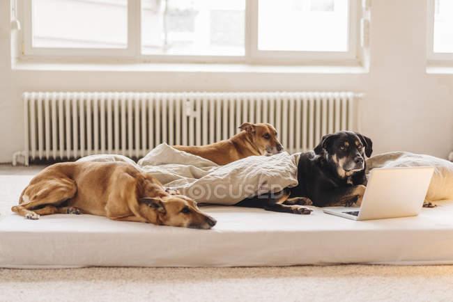 Tres perros en la cama con un ordenador portátil - foto de stock
