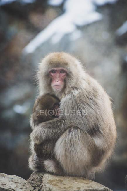 Японія, Yamanouchi, Jigokudani мавпа парк, червонолиций makak з теля — стокове фото