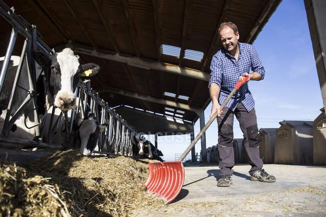 Фермер за допомогою лопати, щоб приносити з собою їжу ближче до корів на фермі — стокове фото