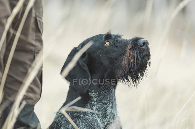 Gros plan d'allemand Wirehaired Pointer en levant en champ — Photo de stock