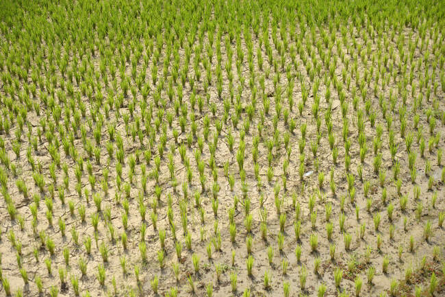 Madagascar, Bevato, rice field — Stock Photo