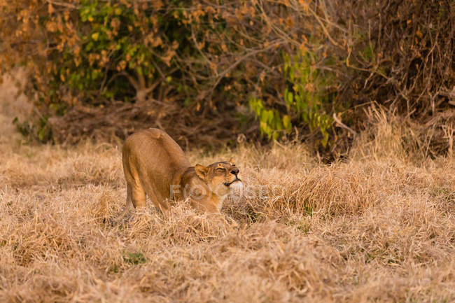 Stretching lion on dry grass field in evening sunlight — Stock Photo