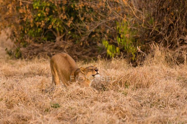 Löwe auf trockenen Wiese in der Sonne am Abend dehnen — Stockfoto