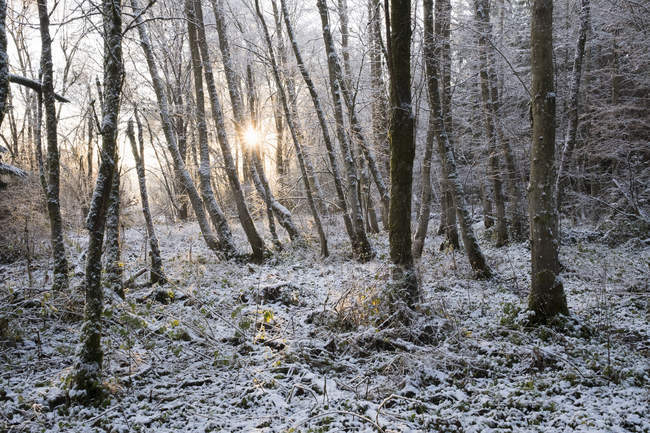 Snow in alluvial forest at sunrise at backlit — Stock Photo