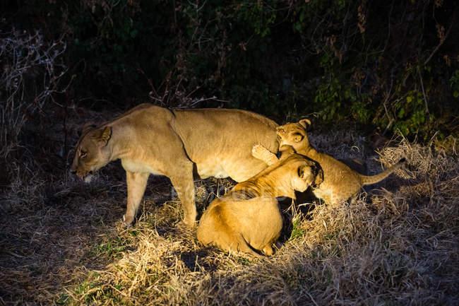 Scena notturna con leone femmina e cuccioli — Foto stock