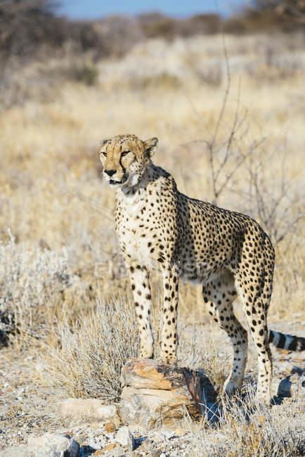 Намибия, Каманжаб, портрет гепарда в саванне — стоковое фото