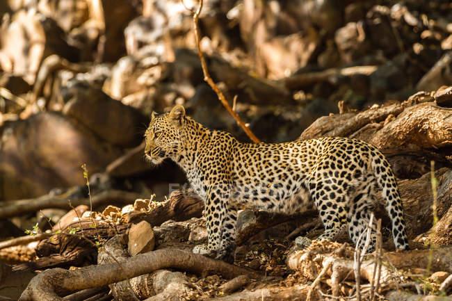 Vue panoramique du léopard (Panthera pardus), Afrique, Botswana — Photo de stock