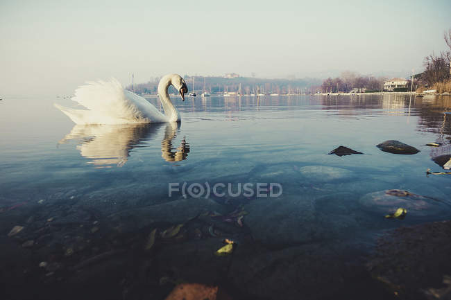 Scene with white swan floating in pond, evening landscape on background — Stock Photo