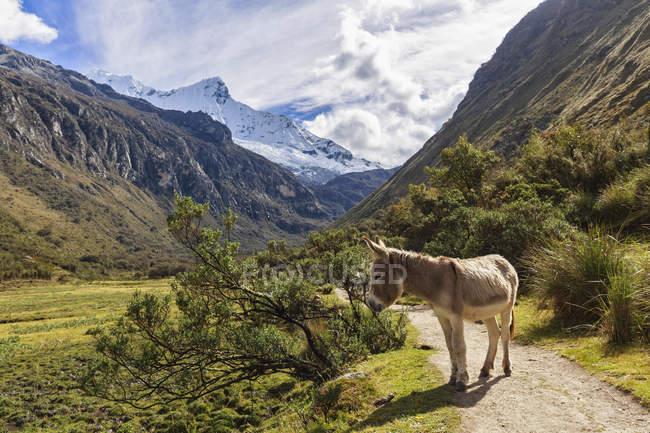 Burro sobre a montanha estrada, Andes, Peru — Fotografia de Stock
