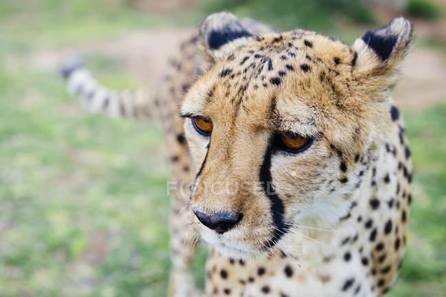 Портрет Намібії, Kamanjab, Гепард — стокове фото
