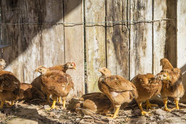 Galinhas de dois meses de idade em galinheiro de madeira no campo — Fotografia de Stock