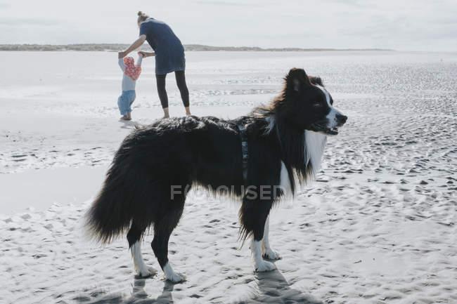 Paesi Bassi, Schiermonnikoog, Border Collie, madre e figlioletta sulla spiaggia — Foto stock