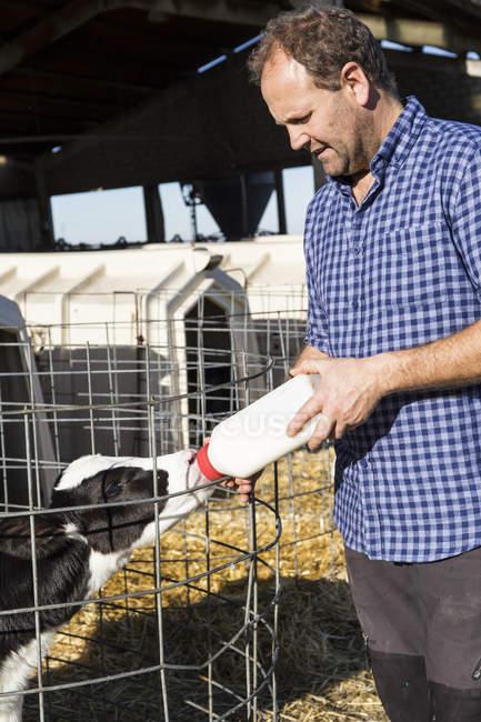 Фермер годування теля в збереглися на фермі — стокове фото