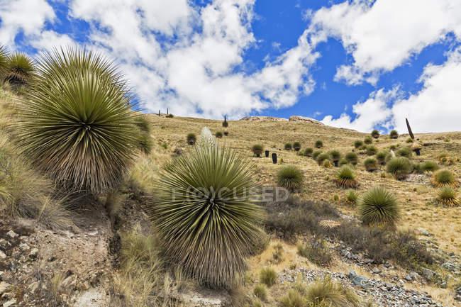 Peru, Andes, Parque Nacional Huascaran, paisagem com plantas selvagens na encosta da montanha — Fotografia de Stock