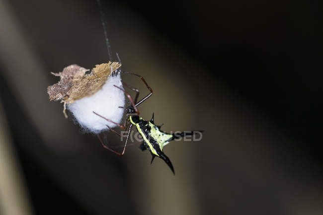Thorn orb tisserand (Micrathena schreibersi) araignée vue — Photo de stock
