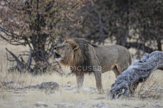 Leone nel Parco nazionale di Etosha — Foto stock