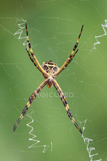 Closeup vista do Aranha de tecelão orb pendurado na web — Fotografia de Stock