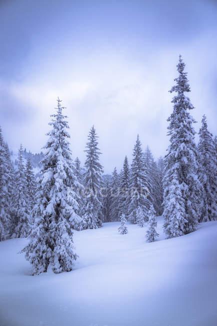 Austria, Hochkoenig, coniferous forest in winter — Stock Photo