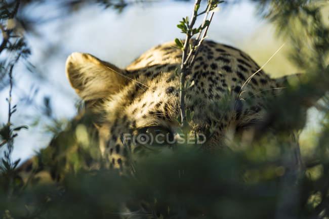 Lurking leopard (Panthera pardus) clsoeup view, Africa, Botswana — Stock Photo