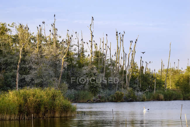 Cena natural com cisne branco nadar no lago e corvos-marinhos em árvores mortas ao redor — Fotografia de Stock
