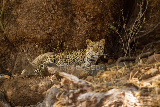 Leopard (panthera pardus) in natürlichem Lebensraum, Afrika, Botswana — Stockfoto