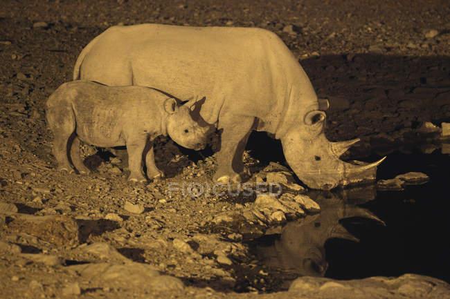 Rinoceronte bianco di notte — Foto stock