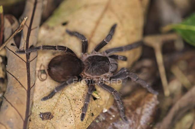 Vista elevada do rastejante aranha tarântula na folha seca — Fotografia de Stock