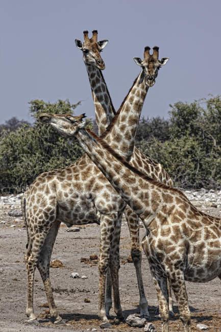 Намібія, Національний парк Етоша, три жирафи стояли разом — стокове фото